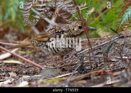 Bassian Thrush - Zoothera lunulata known as the olive-tailed thrush, insectivorous thrush found in southeastern Australia and Tasmania. - Stock Photo
