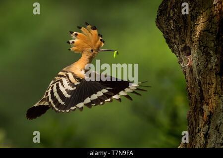 Eurasian Hoopoe (Upupa epops) feeding it's chicks captured in flight. - Stock Photo