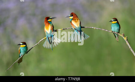 European Bee-eater (Merops apiaster). Four adult birds on a twig. Austria - Stock Photo