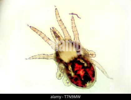 Detail of the red poultry mite (Dermanyssus gallinae) under the microscope. Ugly little red mite with eyght legs with white background. - Stock Photo