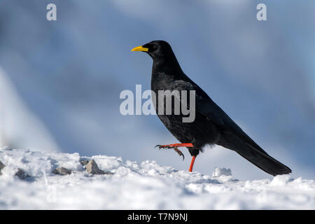 Yellow-billed Chough, Alpine Chough (Pyrrhocorax graculus) walking on snow. Austria - Stock Photo