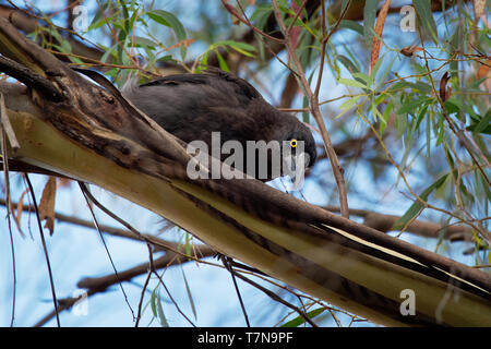 Grey Currawong - Strepera versicolor is a large passerine bird native to southern Australia, including Tasmania. - Stock Photo