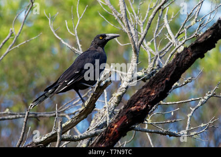 Black Currawong - Strepera fuliginosa - known locally as the black jay, large passerine bird endemic to Tasmania, one of three currawong species in th - Stock Photo