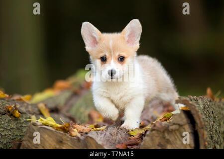 Welsh Corgi. Puppy on a tree log, holding one paw up. Netherlands