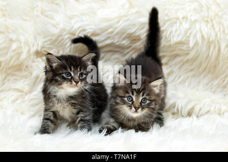 Siberian Cat. Two kittens on white plush blanket. Germany - Stock Photo