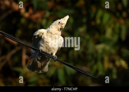 Little Corella - Cacatua sanguinea bird - feeding on the branch near Melbourne, Australia. - Stock Photo