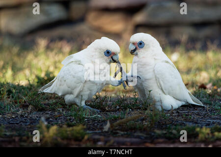 Little Corella - Cacatua sanguinea two birds - pair - feeding on the ground near Melbourne, Australia. - Stock Photo