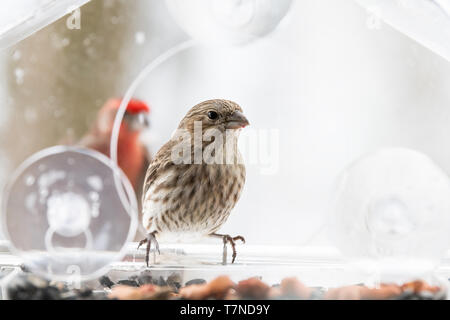 Couple of female and red male house finch landing flying in background birds sitting perched on glass window bird feeder with in Virginia - Stock Photo