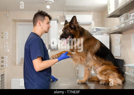 A professional vet doctor examines a large adult dog breed German Shepherd. A young caucasian male vet works in a veterinary clinic. The dog at the re - Stock Photo