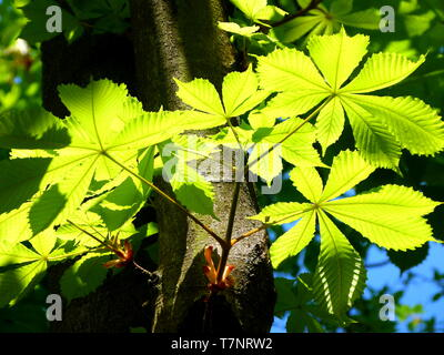 new leaves of the horse chestnut in fresh green in the back light - Stock Photo