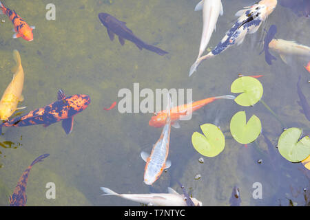 Koi pond with colorful fishes and waterlilies leaves in a summer day - Stock Photo