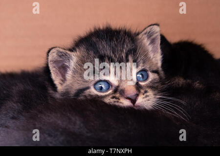 tabby baby kitten watching while cuddled together with its siblings - Stock Photo