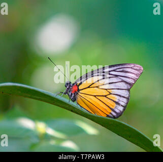 Beautiful Painted Jezebel butterfly resting on a green leaf in a garden or park. Closeup - Stock Photo