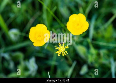 A meadow buttercup (Ranunculus acris) - Stock Photo