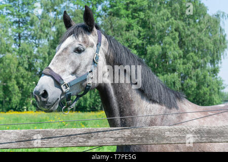 A gray-colored horse with black Mane is in the field - Stock Photo
