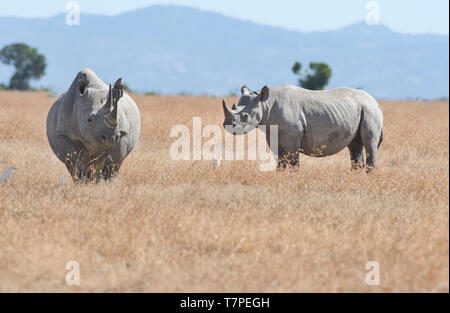 Black or browse rhinoceros (Diceros bicornis) mother and well-grown calf - Stock Photo