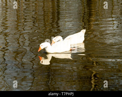 Two geese peaceful floating on the water - Stock Photo