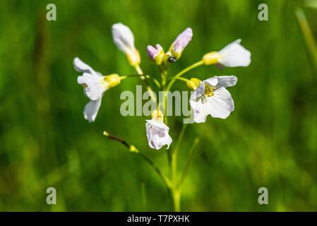 A cuckoo flower  (Cardamine pratensis) - Stock Photo