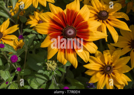 A close up of a stunning bright yellow sun flower with a vibrant red colouring to the petals , against a green foliage background - Stock Photo
