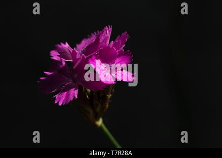 Carthusian pink is growing in the shadow and was hit by natural sunlight (Dianthus carthusianorum) - Stock Photo