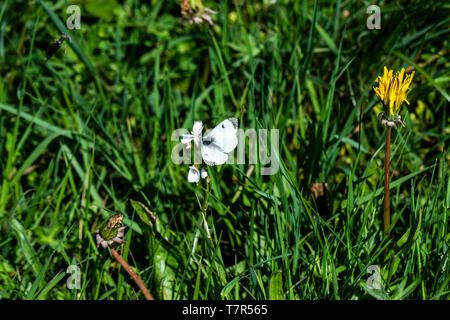 A female orange tip butterfly (Anthocharis cardamines) on a cuckoo flower (Cardamine pratensis) - Stock Photo