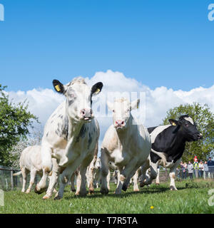 De Bilt, Netherlands, 4 may 2019: cows dance and run into