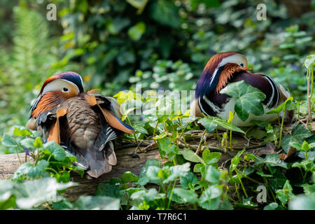 portrait of two Mandarin ducks resting on a tree trunk, with their beaks between the feathers - Stock Photo