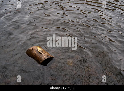 An unusual event of a dead fish on a floating log in the middle of the water. - Stock Photo