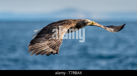 Adult White-tailed in flight. Blue Ocean Background. Scientific name: Haliaeetus albicilla, also known as the ern, erne, gray eagle, Eurasian sea eagl - Stock Photo
