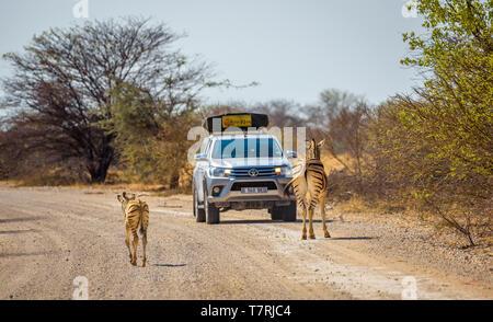 Zebras block the road in Etosha National Park - Stock Photo