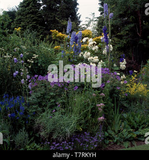 Blue delphiniums and geraniums in border with white roses - Stock Photo