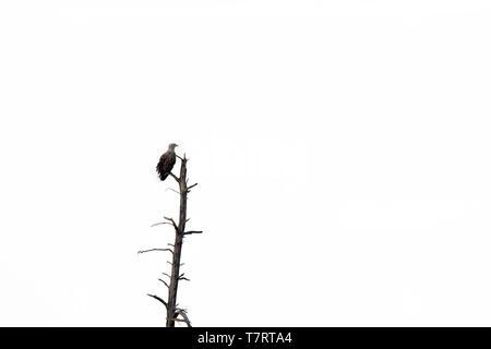 White-tailed eagle / sea eagle / erne (Haliaeetus albicilla) perched in dead tree against white sky - Stock Photo