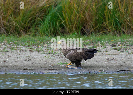 White-tailed eagle / sea eagle / erne (Haliaeetus albicilla) eating caught fish on lake bank / shore - Stock Photo