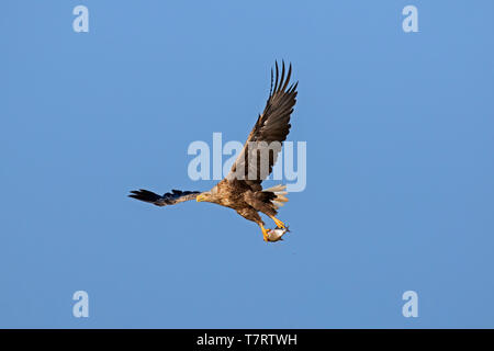 White-tailed eagle / sea eagle / erne (Haliaeetus albicilla) in flight with caught fish from lake in its talons - Stock Photo