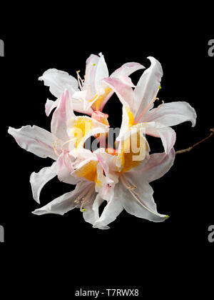 Flower trusss of the scented, spring blooming deciduous azalea, Rhododendron 'Exquisite' on a black background - Stock Photo
