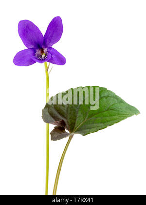 Dark foliage and flowers of the self seeding, spring flowering violet, Viola riviniana (Purpurea Group) on a white background - Stock Photo