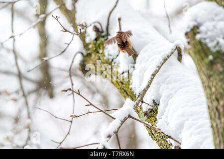 Closeup of one small brown carolina wren bird flying away on tree branch trunk during heavy winter snow colorful in Virginia with plumage wings - Stock Photo