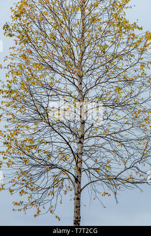 Birch tree with autumn foliage against the cloudy sky - Stock Photo