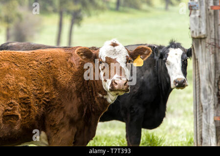 A close up of cows on the farm in the pasture in eastern Washington.