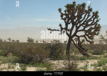 Joshua tree in the Mohave Desert ecosystem of Big Rock Creek Wildlife Sanctuary, California. Digital photograph - Stock Photo