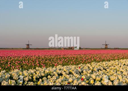 Tulip fields in Schermerhorn, The Netherlands - Stock Photo