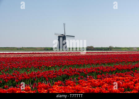Tulips and windmill in Schermerhorn, The Netherlands - Stock Photo