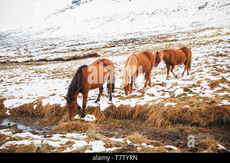 Portraits of Icelandic race horses on a snowy mountain, protected purebred animals. - Stock Photo