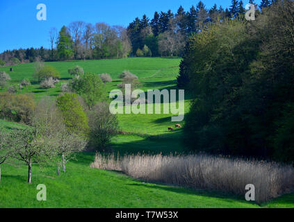 A spring landscape with some white flowered trees and some reed in the Odenwald near Rippenweier, Weinheim, Baden-Württemberg, Germany. - Stock Photo