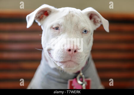 American Pit Bull Terrier female puppy head. - Stock Photo
