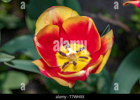 Widely open and totally bloomed red and yellow tulip flower showing the pistil and stamen under a spring lights - Stock Photo