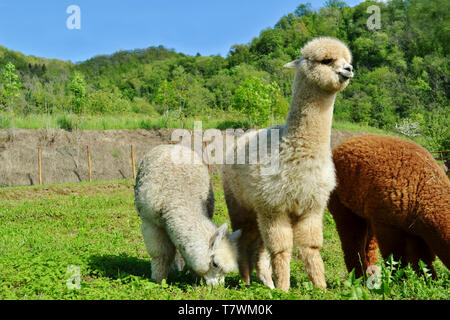 Three beautiful domestic alpacas grazing on a farm garden meadow in a sunny summer day. One central is watching and two others are eating the grass. - Stock Photo