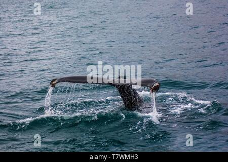 A caudal fin tail of a large fish in the water - Stock Photo
