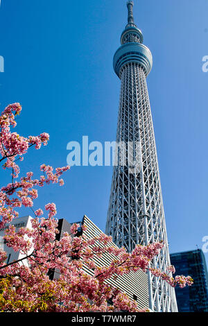 Broadcasting, restaurant and observation tower.  In front, Sakura trees.  Sumida, Tokyo, Japan. - Stock Photo