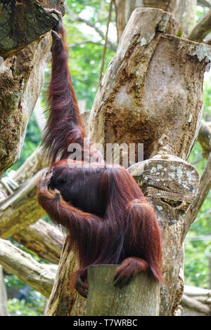 Orangutan monkey playing on the tree at public park in sunny day. - Stock Photo